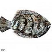 Gulf Flounder Art Print