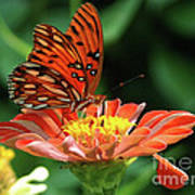 Gulf Fritillary On Zinnia Art Print