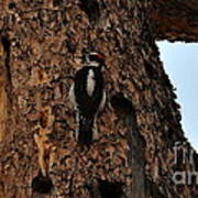 Hairy Woodpecker On Pine Tree Art Print