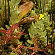 Hampshire Purslane (ludwigia Palustris) Art Print by Bob Gibbons