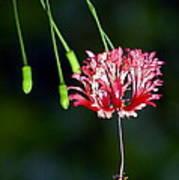 Hanging Coral Hibiscus Art Print