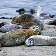 Harbor Seal Phoca Vitulina Mother Art Print