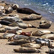 Harbor Seals Sunbathing On The Beach . 40d7553 Art Print