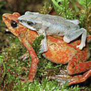 Harlequin Frog Atelopus Varius Pair Art Print