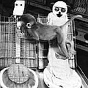 Harlows Monkey Experiment Art Print