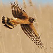 Harrier Over Golden Grass Print by William Jobes