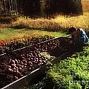Harvesting The Crop Art Print