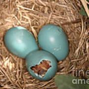 Hatching Robin Nestlings Art Print