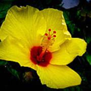 Hawaiian Yellow Hibiscus Art Print