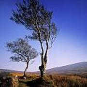 Hawthorn Trees In Sally Gap, County Art Print
