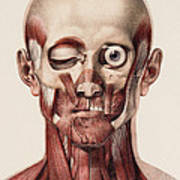 Head And Neck Muscles Art Print