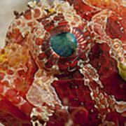 Head Detail Of A Red Dwarf Lionfish Art Print