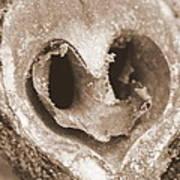 Heart Center Of A Walnut Shell Art Print by Maureen  McDonald