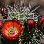 Hedgehog Cactus Flowers  Art Print