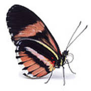 Heliconius Butterfly Heliconius Sp Art Print