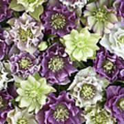 Hellebore Helleborus Sp Flowers Art Print