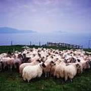 Herding Sheep, Inishtooskert, Blasket Art Print