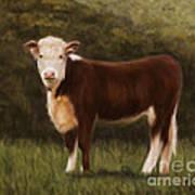 Hereford Heifer Art Print