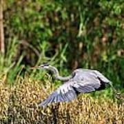 Heron Flying Along The River Bank Art Print
