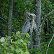 Heron On A Limb Art Print