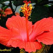 Hibiscus Bowl Art Print