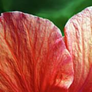 Hibiscus Fandango Art Print