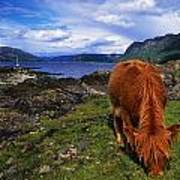 Highland Cattle, Scotland Art Print