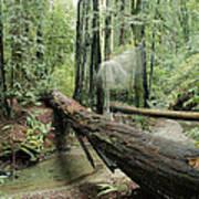 Hiker Moving Over A Fallen Redwood Tree Art Print