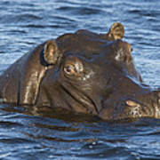 Hippopotamus Hippopotamus Amphibius Art Print