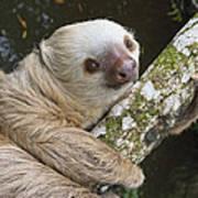 Hoffmanns Two-toed Sloth Costa Rica Art Print by Suzi Eszterhas