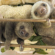 Hoffmanns Two-toed Sloth Orphaned Babies Art Print by Suzi Eszterhas