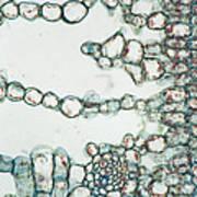 Holly Leaf Palisade Cells Art Print
