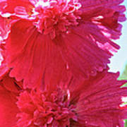 Hollyhock Duet Art Print