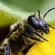 Honey Bee 2 Art Print