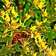 Honey Bee And Sedum  Art Print