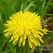 Honey Bee Full Of Pollen Art Print