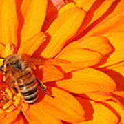 Honeybee On An Orange Zinnia Art Print