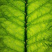 Horseradish Leaf Art Print