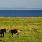 Horses In A Field, Guernsey Cove Art Print