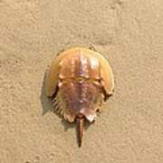 Horseshoe Crab In The Sand Campground Beach Cape Cod Eastham Ma Art Print
