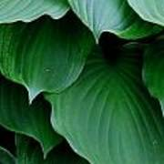 Hosta Green Art Print