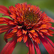 Hot Papaya Hybrid Coneflower Art Print