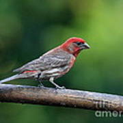 House Finch Bird . 40d8331 Art Print by Wingsdomain Art and Photography