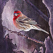 House Finch Looking At Me Art Print