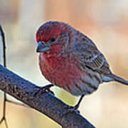 Housefinch IIi Art Print