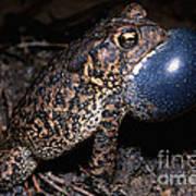 Houston Toad Art Print