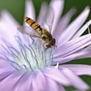 Hoverfly On Flower Art Print