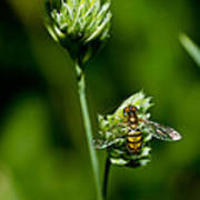 Hoverfly On Grass Art Print