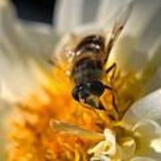 Hoverfly On White Flower Art Print