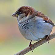 Humble Housesparrow Art Print